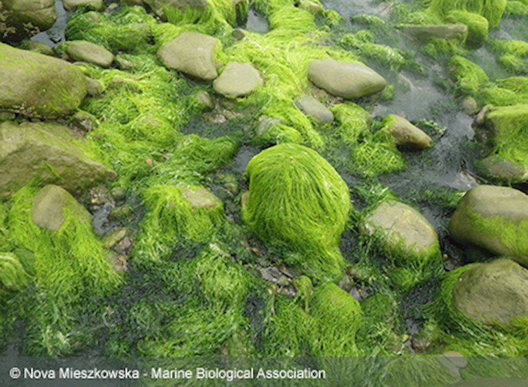 algae covered boulders in porth neigw l- copyright nova mieszkowska