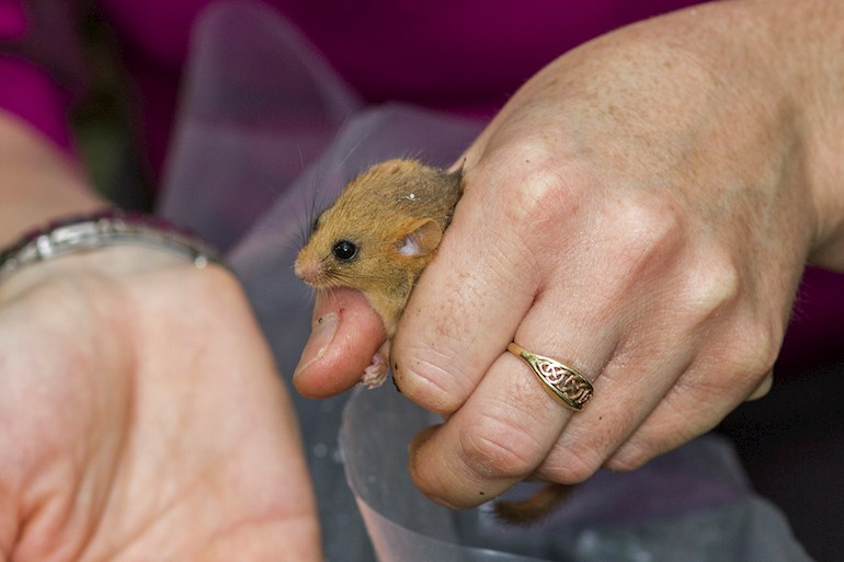 Woman holding a dormouse