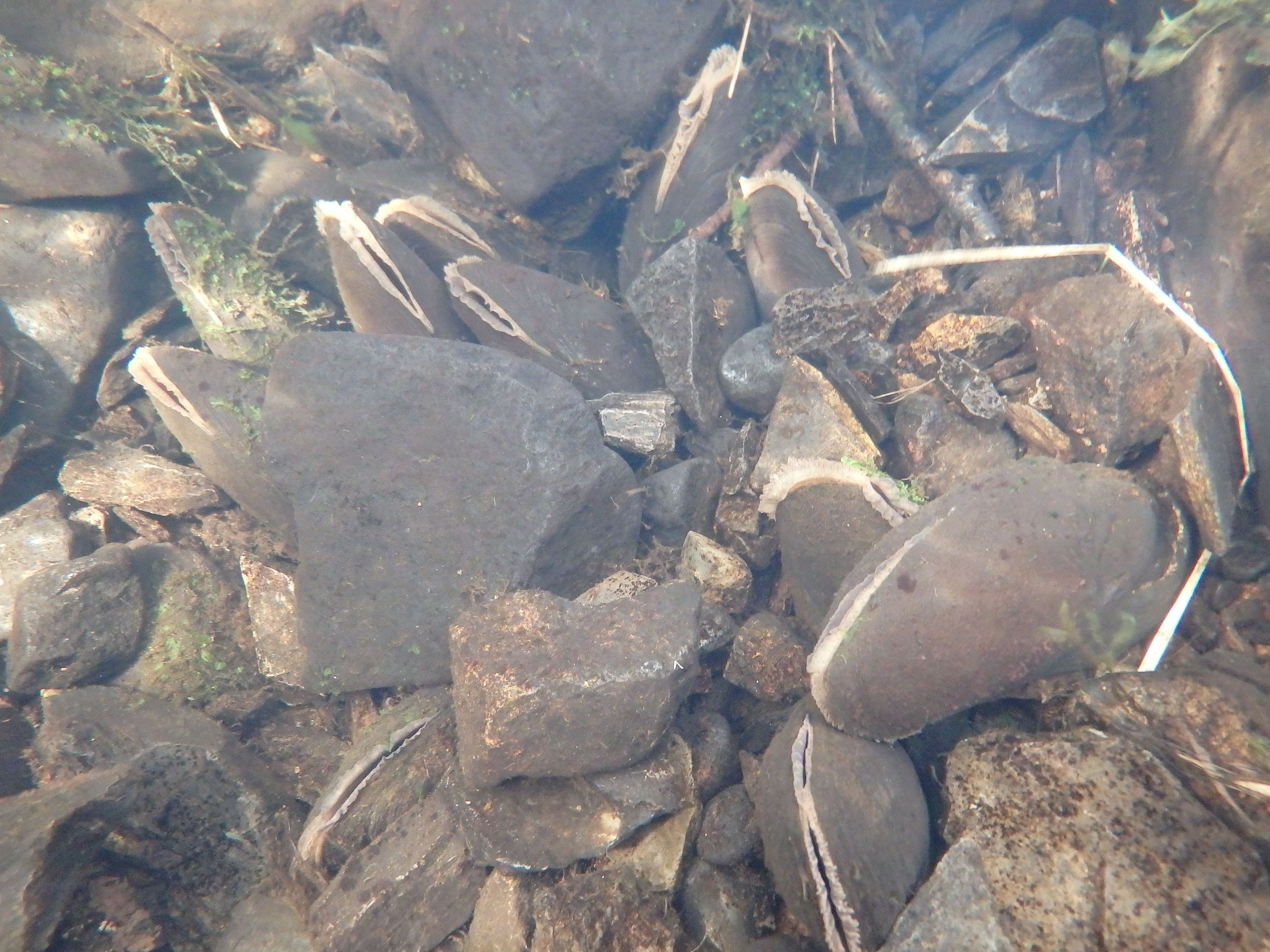 freshwater mussel and water quality a