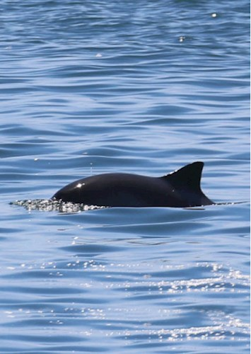A porpoise in the sea