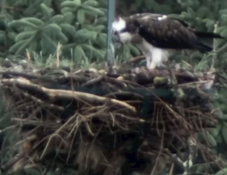 Osprey bird perched on the edge of her nest