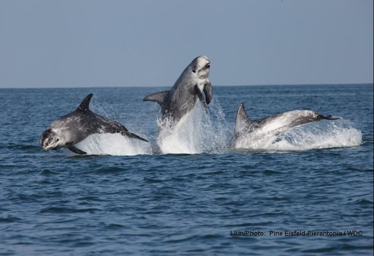 Three Risso dolphins jumping out of the water