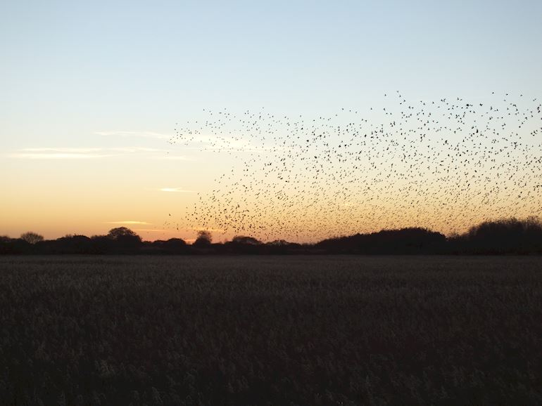 Shape in the sky made by Starlings