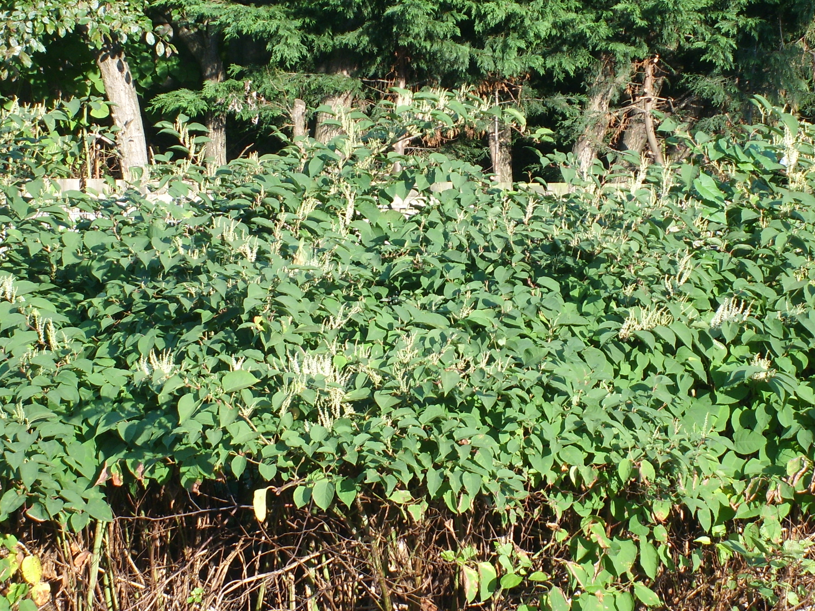 Natural Resources Wales / Japanese knotweed: What you need to know