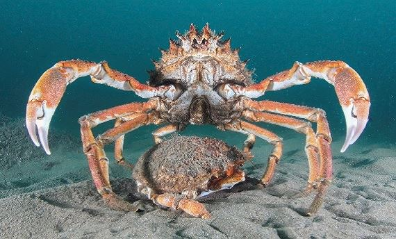 Spider crabs (Maja squinado) at Llŷn Peninsula and The Sarnau Special Area of Conservation (SAC) - photographed by Matthew Green